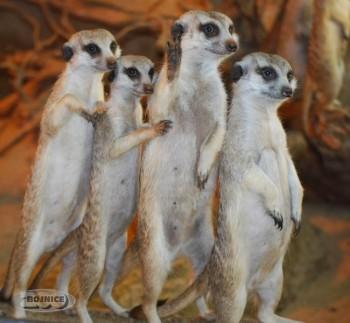 3_Bojnice surikaty